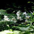 ヤマユリ満開の森林公園