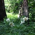 ヤマユリの開花風景(森林公園)