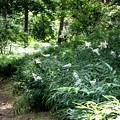 ヤマユリの小道(森林公園)