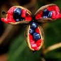 山芍薬の種子の色彩