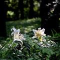 光を浴びるヤマユリ(森林公園)