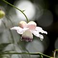 雨上りの蓮華升麻の花