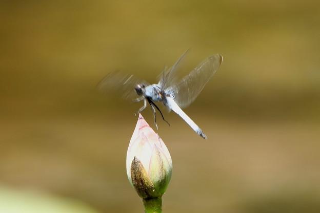 シオカラトンボの羽ばたき
