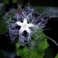 神秘的な花 カラスウリ