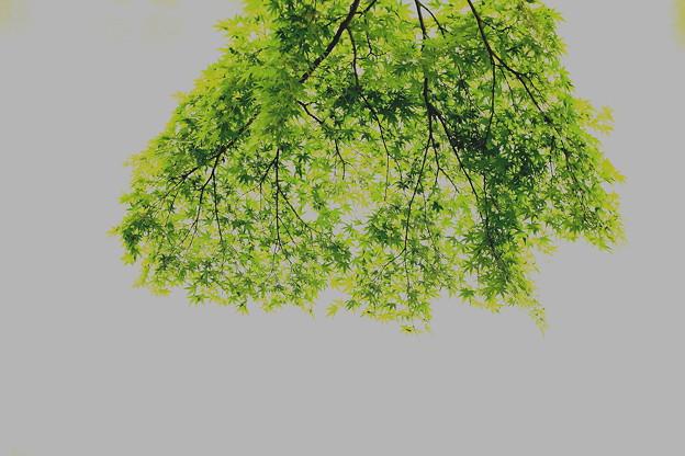 Photos: もみじの緑葉
