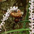 花の穂先の蝉殻