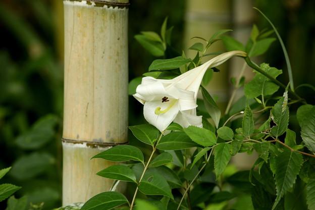 竹林のなかの高砂百合