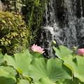蓮の花と滝