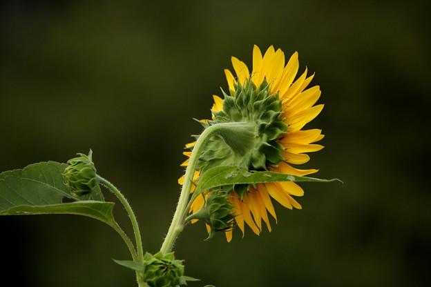 向日葵の裏側