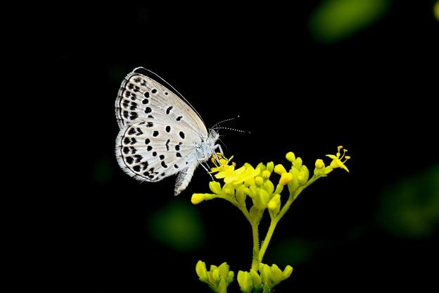 女郎花のシジミ蝶