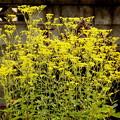 女郎花の黄色