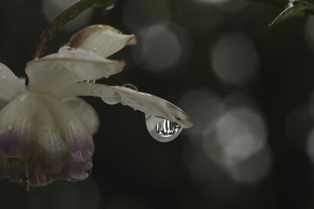 雫の蓮華升麻