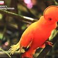 珍しい鳥 テレビ画像 鳥の名前不明 「イワドリ」