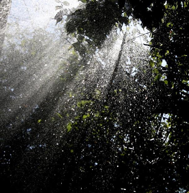 朝植木にシャワー 木洩れ日