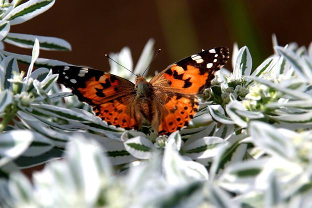 ツマグロヒョウモン蝶1