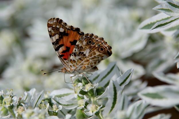 ツマグロヒョウモン蝶2