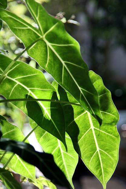 観葉植物の葉(緑と白い筋)