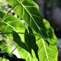 Photos: 観葉植物の葉(緑と白い筋)