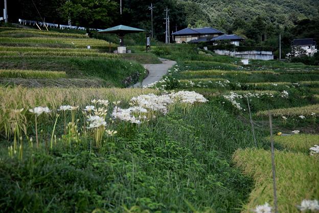 寺坂棚田の白い曼殊沙華風景