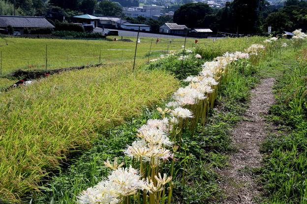 白い曼殊沙華が咲く畦道(寺坂棚田)