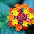 Photos: ランタナの花