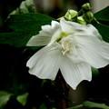 Photos: 白い木槿(ムクゲ)品種 「白祇園守(しろ・ぎおん・まもり)」