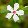 Photos: 花の雫玉