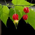 赤い色彩のウキツリボク