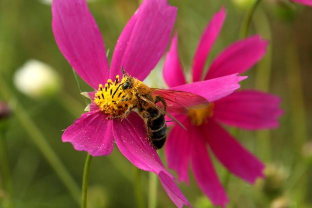コスモスの蜜を吸う蜜蜂
