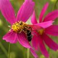 Photos: コスモスの蜜を吸う蜜蜂