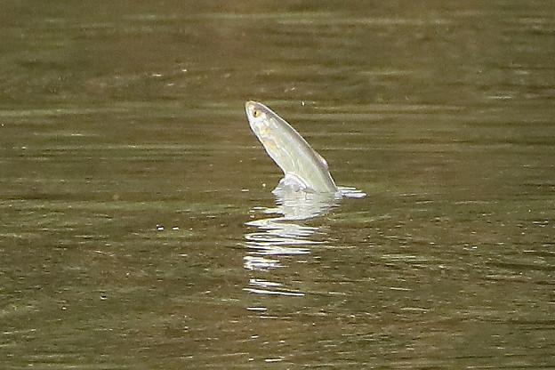 ジャンプする小魚A