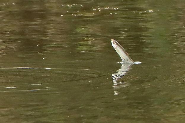 ジャンプ寸前の小魚