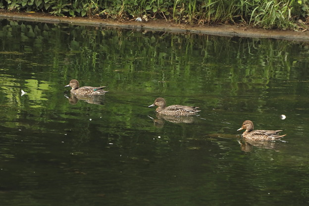 小鴨の泳ぎ三羽