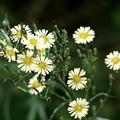 雑草の黄色い花