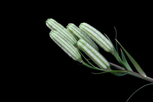百合の種子