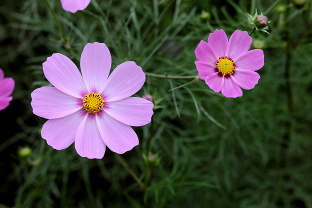 ピンク色の色彩の綾