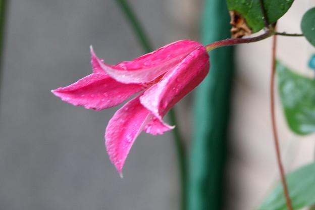 まだ咲くダイアナの花(クレマチス)