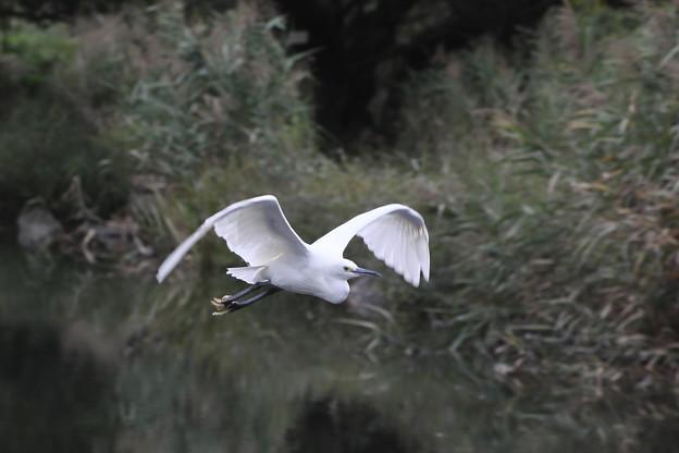 コサギの飛行姿