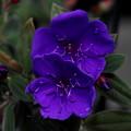 シコンノボタンの花