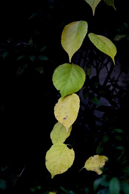 色染まり始めの葉の列