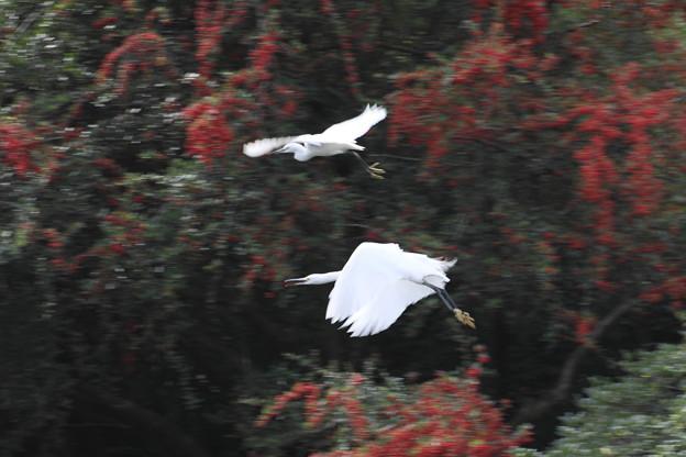 ピガカンサを背景に飛ぶコサギ2羽