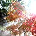 Photos: 朝のシャワーの紅葉もみじ