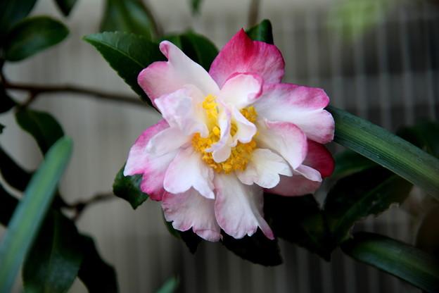 山茶花のピンク系の花