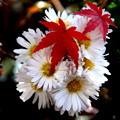 白い菊の紅葉の落葉