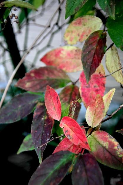 空木の紅葉の色彩