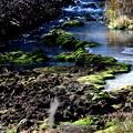 チャツボミゴケ公園の沢の苔