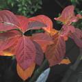 富有柿の紅葉