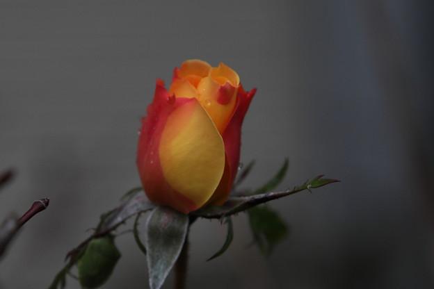 雨日 薔薇の蕾