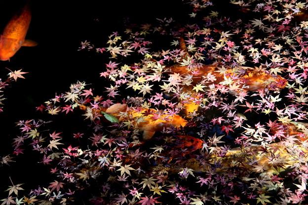 モミジの落葉と錦鯉