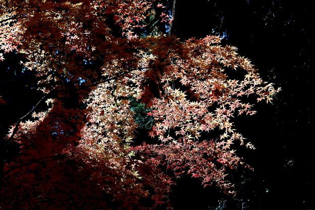 逆光のモミジ紅葉